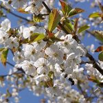 SAFLAX – Cerisier des oiseaux – 10 graines – Prunus avium