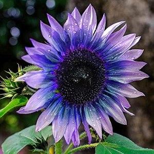 Allsunny Lot de 100 graines de tournesol – Graines de tournesol – Faciles à cultiver – Violettes – Graines de fleurs exotiques rares pour la maison, la cour – Graines de tournesol
