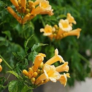 Bignone 'yellow Trumpet' (campsis 'yellow Trumpet')