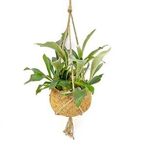 Fougère de Botanicly – Platycerium en pot suspendu fibre de coco comme un ensemble – Hauteur: 40 cm