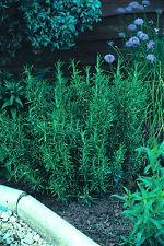 Graines de romarin rosmarin, rosmarin, 10 g, environ 7000-8000 graines de légumes/herbes