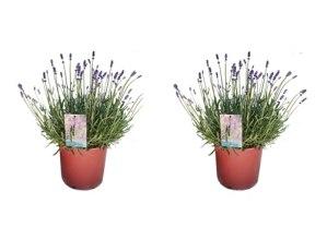 Herbes – 2 × Lavande vraie – Hauteur: 40 cm
