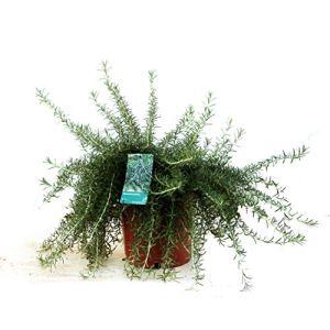 Herbes – 2 × Romarin – Hauteur: 30 cm