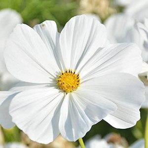 Keshang ES ornementales bonsaï,Cosmos Graine grunang semences Saisons de semences semis-Fly_2000pcs,Les Meilleures graines