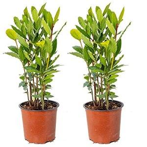 Laurier | Laurus Nobilis par lot de 2 – Plante d'extérieur dans pot de fleur ⌀15 cm – ↕35-45 cm