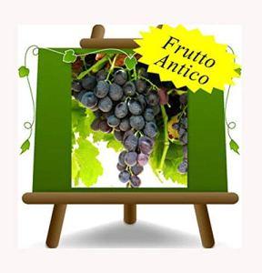 Vigne Michele Palieri – Plante de fruits vieux porte-greffe sur pot 20 – arbre max 170 cm – 2 ans