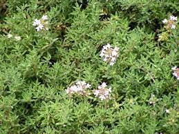 zumari Graines de fleurs de glycine rose