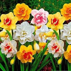 25x Narcissus | Bulbes de Narcisse à fleurs doubles | Mix de couleurs | Bulbes à floraison précoce | Plantes fleuries vivaces | Ø 12-14cm