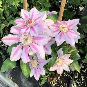 FStening 3 Pièces Rayures Roses Attrayantes Bulbes De Clématites Pour La Plantation De Jardin Arbuste à Feuilles Persistantes Longue Floraison Très Apprécié Par Les Planteurs