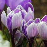 FStening 10 Pièces Bulbes De Safran De Deux Variétés Violettes Différentes A Un Fort Parfum Le Crocus Est Un Matériau Commun Pour La Fabrication D'épices