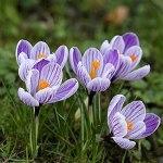FStening 8 Pièces Bulbes De Safran Idéal Vivaces Crocus Purple Petals with Special Stripes Facile D'entretien Cultivé Dans Diverses Régions