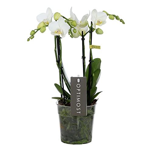 Orchidée 'Amabilis Starrion' | Phalaenopsis blanc par pièce – en pot de pépinière ⌀12 cm – 45 cm
