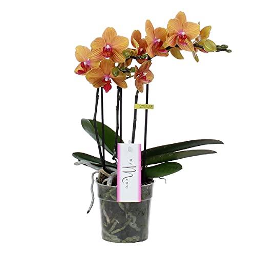Orchidée 'Bronzer' | Phalaenopsis orange chacun – en pots de pépinière ⌀12 cm – 45 cm