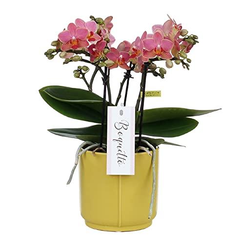 Orchidée 'Charme' | Phalaenopsis rose foncé chacun – dans un pot en céramique jaune ⌀12 cm – 45 cm