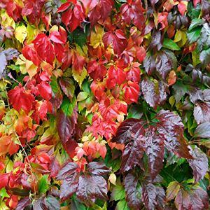 Parthenocissus tricuspidata ENGELMANNI   Vigne-vierge rouge   Plante d'extérieur grimpante   Hauteur 60-70cm   Pot Ø 15 cm