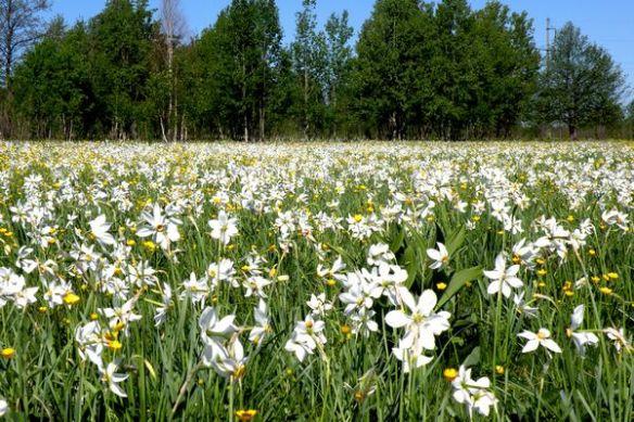 Imagini pentru Valea Narciselor