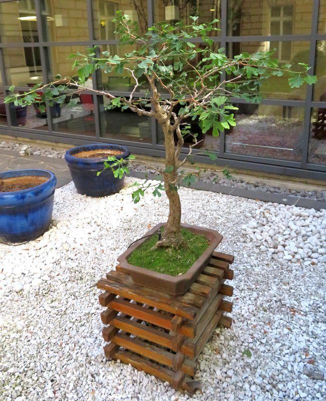 bonzai dans sa jardiniere en gres couleur chocolat 120 x 50 x40 cm vendu avec son support en bois 4