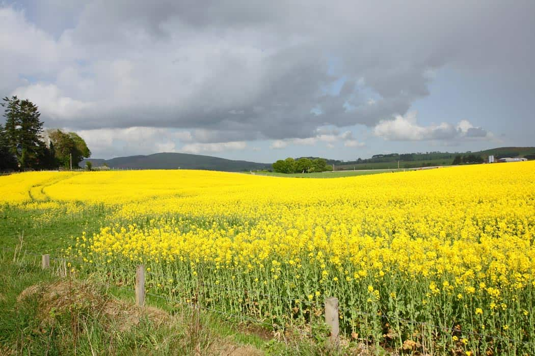 Rapeseed fields in Springtime. Click through to see 28 more mind blowing photos of Scotland!
