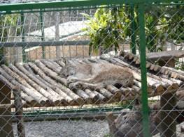 lynx zoo faron