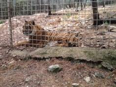 36. Tigre