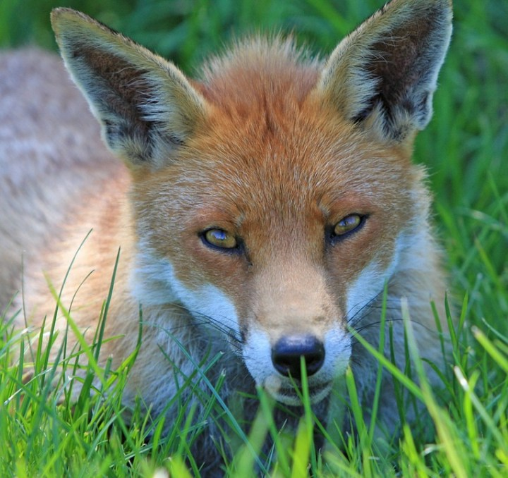 fox-220487_960_720
