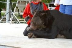Ours Micha à Arcis-sur-Aube