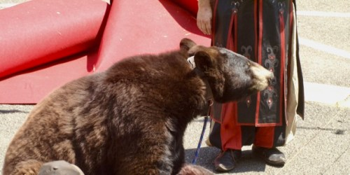 Urgent : Cyber-action contre l'exploitation de l'ours Valentin à Saint-Léonard de Noblat les 17 et 18 août 2019