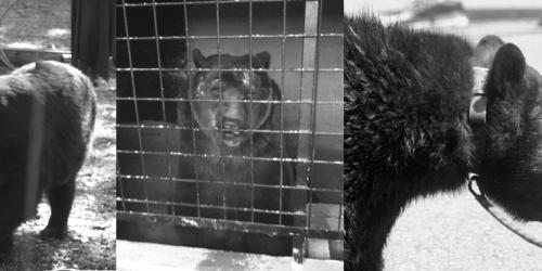 COVID-19 : Profitons du report des fêtes médiévales pour interdire les montreurs d'ours et de loups en France.