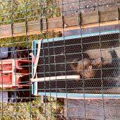 Les ours des Poliakov, Bony et Glasha, ont été placés dans des refuges