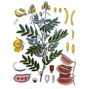 cassia angustifolia senna plant