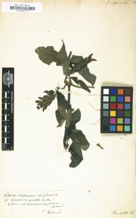 Justicia melgariensis (Quelle: BGBM Digital herbarium)