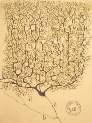 Santiago Ramón y Cajal (1852-1934), Neuroanatomical Drawings. Courtesy Instituto Cajal