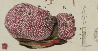 Ehrenberg: Orgelkoralle Tubipora hemprichii (1823)