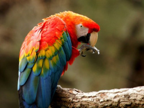 800px-Ara_macao_-Fort_Worth_Zoo-8