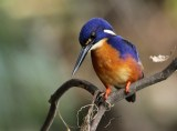 Azure Kingfisher Dayboro, SE Qld ©Tom Tarrant September 2011