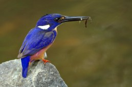 Azure Kingfisher Dayboro, SE Qld ©Tom Tarrant October 2012