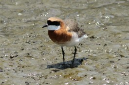 Mongolian Plover Mahachai Mangrove Forest, Thailand ©Tom Tarrant April 2013