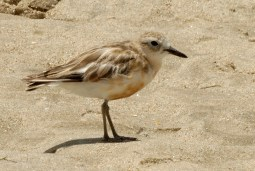 NZ Plover Waipu NZ © Tom Tarrant January 2005