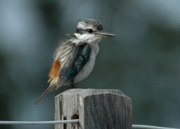 Red-backed Kingfisher Dayboro, SE Qld ©Tom Tarrant June 2006