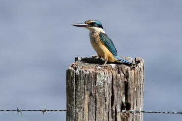 Sacred Kingfisher Lake Clarendon, SE Qld ©Tom Tarrant March 2011