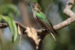 Shining Bronze Cuckoo