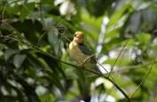 Yellow-billed Kingfisher Iron Range, N Qld ©Tom Tarrant December 2008