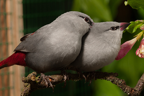 Pair of Lavender Waxbills