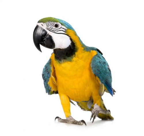 Easily the most recognizable member of the Parrot family, Macaws are often the first choice for bird lovers who become interested in owning a large parrot.
