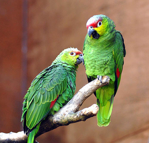Psittacidae Red-Lored Amazon Parrot or Yellow Cheek Amazon