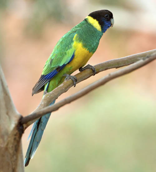 Port Lincoln Parakeet
