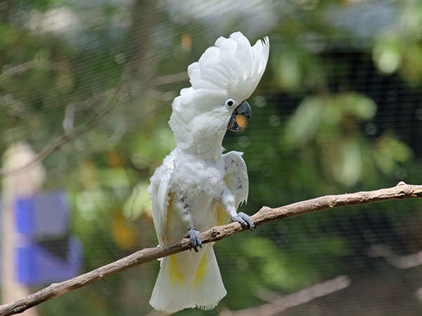 The beautiful Umbrella Cockatoo, also sometimes referred to as the White Cockatoo, is a medium sized cockatoo weighing between 500 – 700grams and measuring 43-48cm.