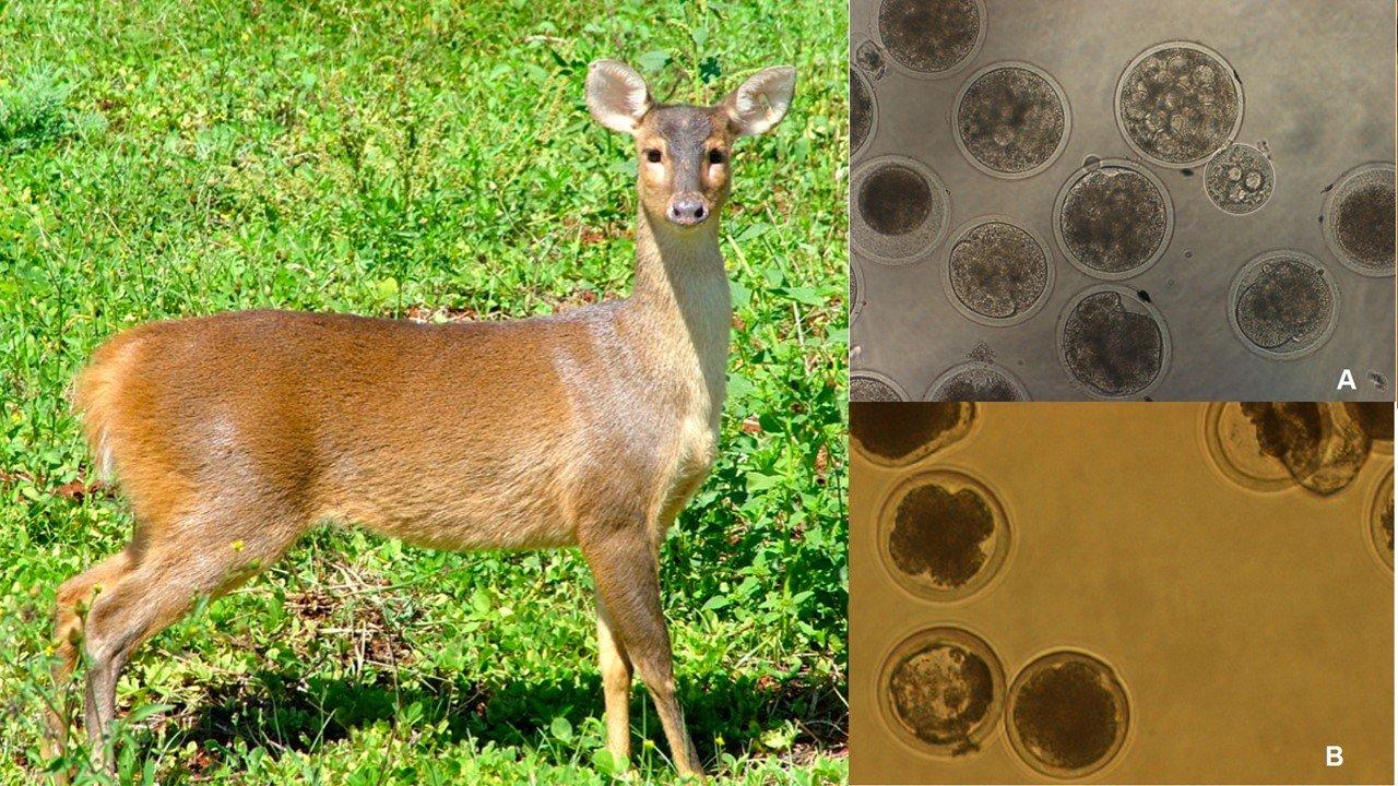 Uece produz embriões clones de veado-catingueiro, em risco de extinção em alguns estados