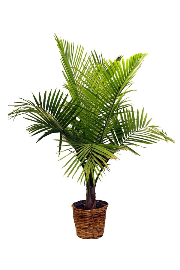 Palm Species As House Plants Hardy Exotic Solutions