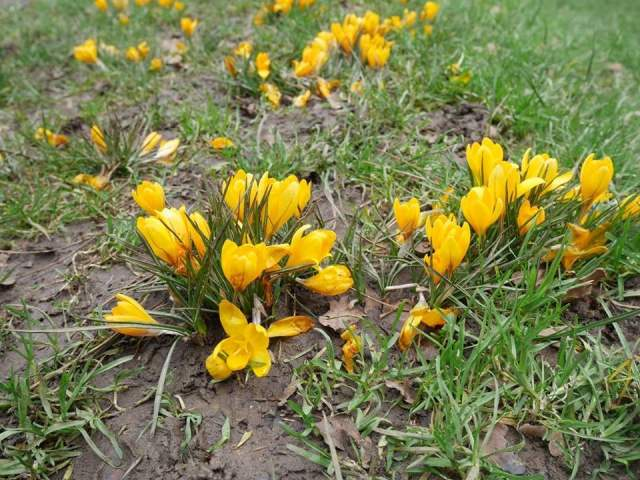 Capital ring - crocus